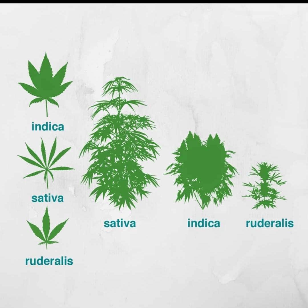Ci sono vari modi per imparare qualcosa sulla cannabis, dolce_vita_magazine è uno di questi , disponibile in negozio fino ad esaurimento -     .studio